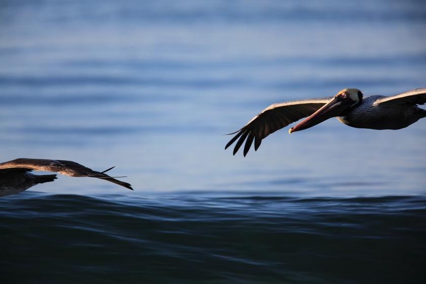 Brown Pelicans Surfing the Waves