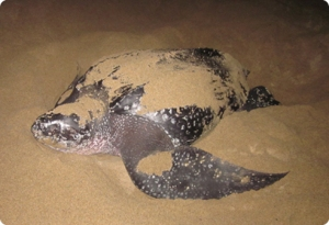 Leatherback Turtle on Playa Viva beach