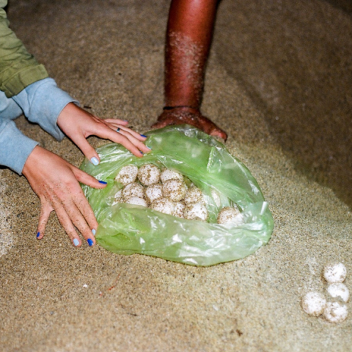 Freshly excavated turtle eggs, being placed in a plastic bag for relocation